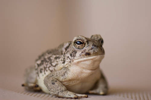 An Arizona toad (Anaxyrus microscaphus) at the Arizona-Sonora Desert Museum.