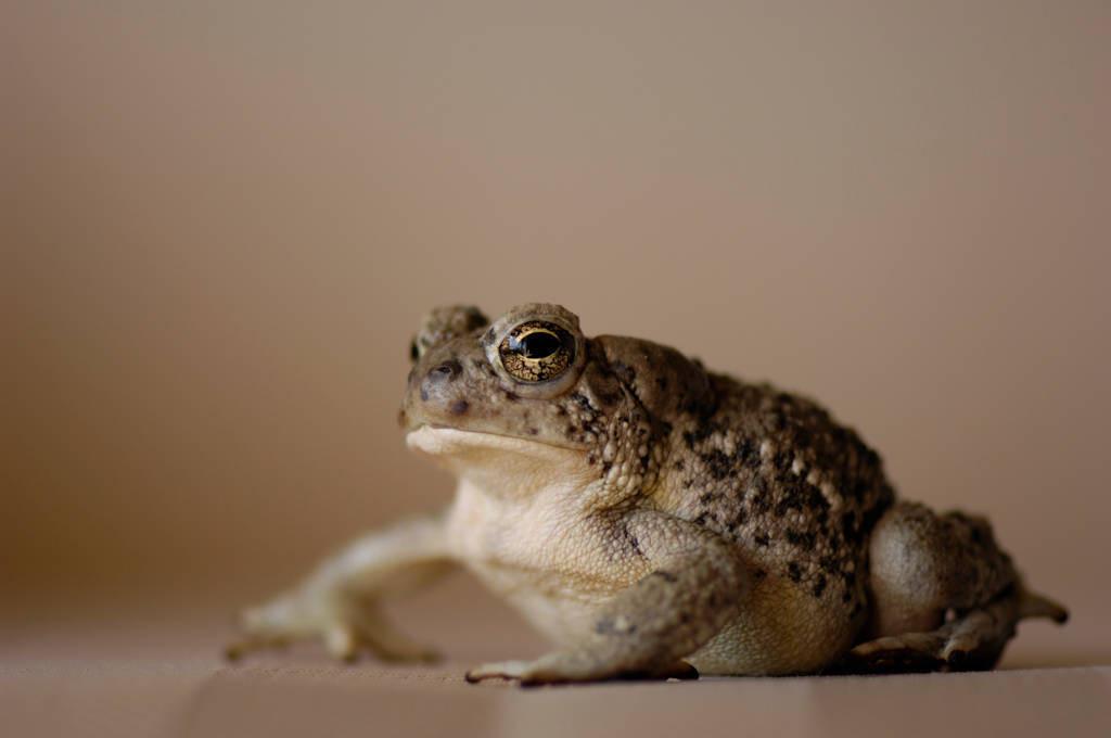 An Arizona toad (Anaxyrus microscaphus) at the Arizona-Sonora Desert Museum.