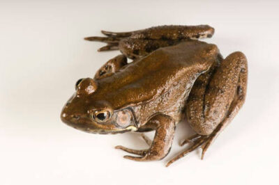 A bronze frog (Lithobates clamitans) at the Estuarium in Dauphin Island, AL.