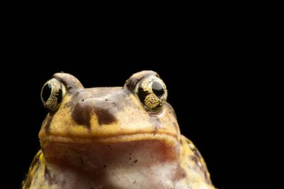 Eastern spadefoot toad (Scaphiopus holbrookii) at the Lowry Park Zoo in Tampa, FL.