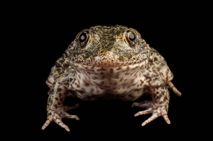 Gopher frog (Lithobates capito) at the Lowry Park Zoo in Tampa, FL.