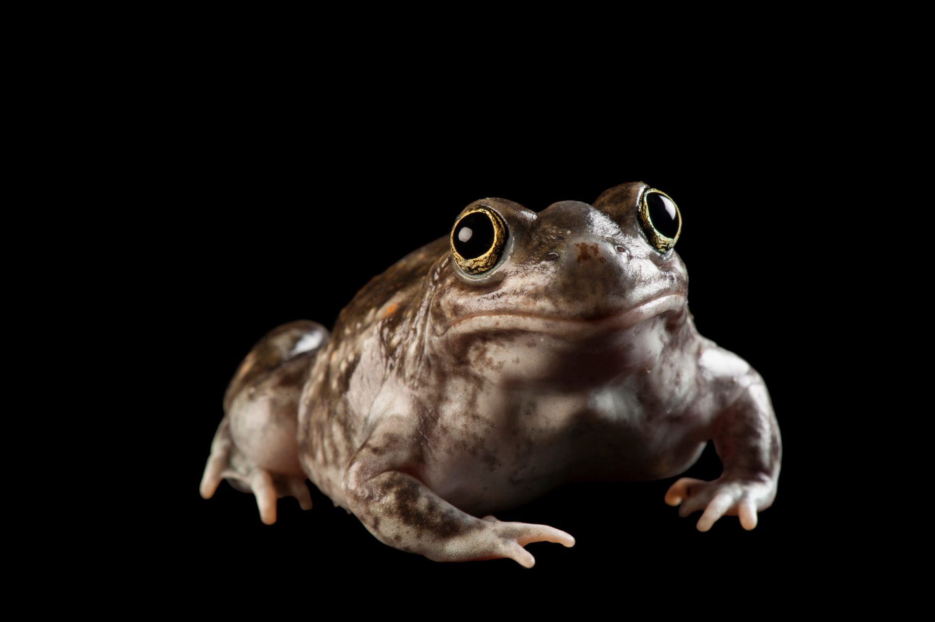 Photo: A plains spadefoot toad (Spea bombifrons) at UNL.