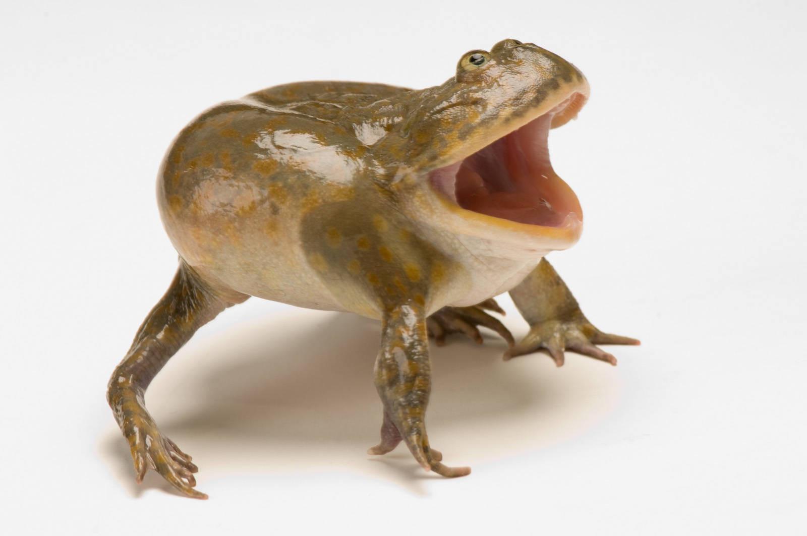 Budgett's frog (Lepidobatrachus laevis) at the Baltimore Aquarium.