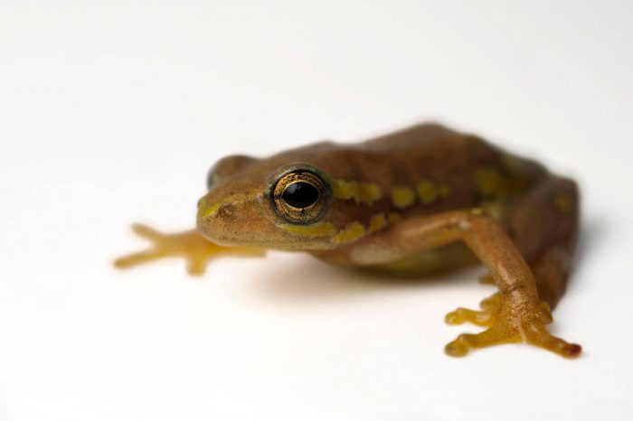 An endangered spotted reed frog (Hyperolius puncticulatus) at the Vancouver Aquarium.