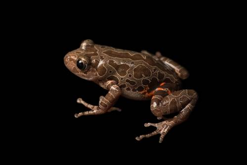 A marbled running frog (Kassina maculosa) at the Vancouver Aquarium.