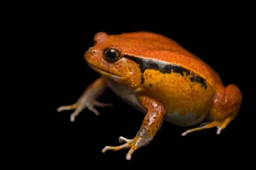 Photo: A tomato frog (Dyscophus guinetti) at the Vancouver Aquarium.