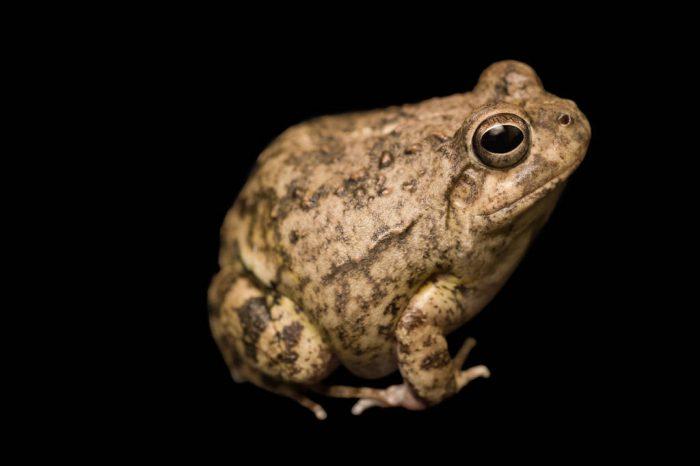 A Colombian four-eyed frog (Pleurodema brachyops) at the Vancouver Aquarium.