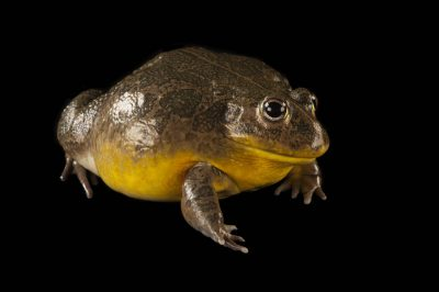African bullfrog or pixi frog (Pyxicephalus adspersus) at the Omaha Zoo.