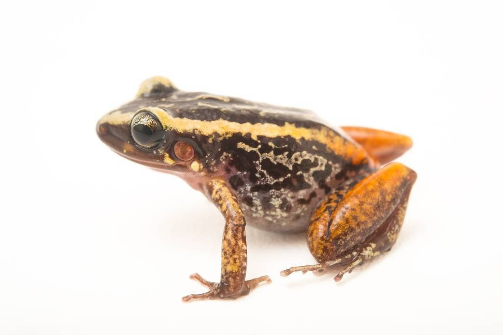 Picture of a Weinland's robber frog (Eleutherodactylus weinlandi) at the Parque Zoologico Nacional in Santo Domingo, Dominican Republic.