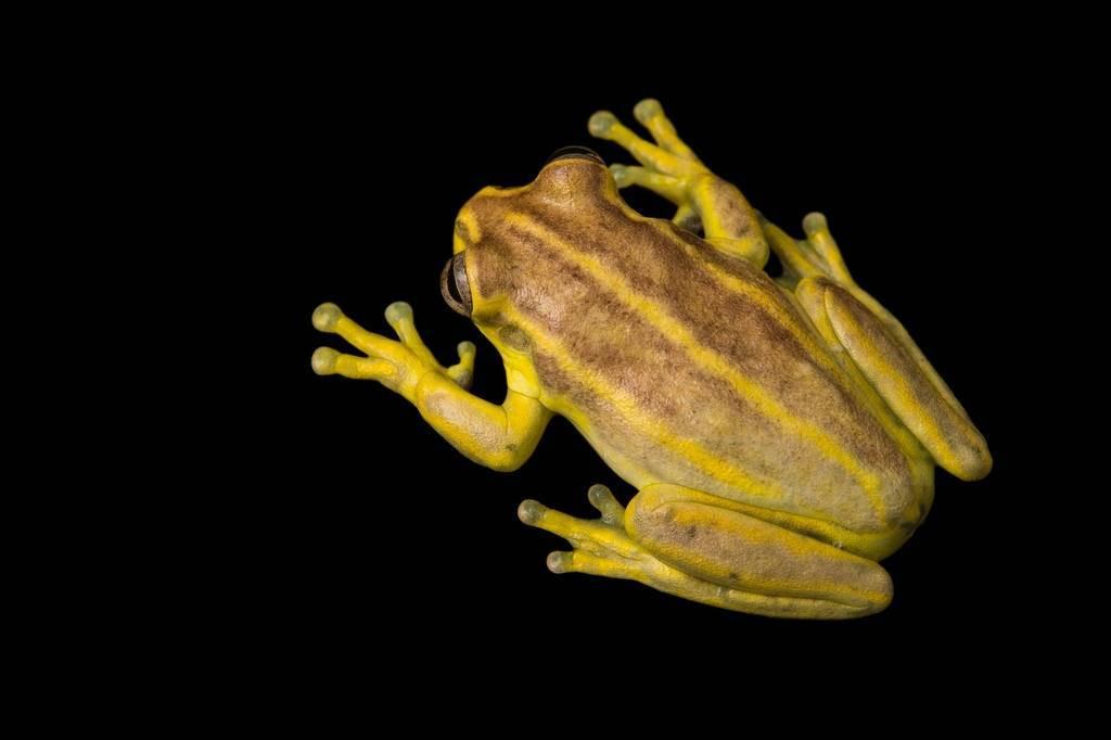 Picture of a vulnerable Hispaniolan yellow tree frog (Osteopilus pulchrilineatus) at the Parque Zoologico Nacional in Santo Domingo, Dominican Republic.