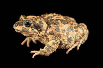Photo: A Brongersma's toad (Barbarophryne brongersmai) at Aquarium Berlin.
