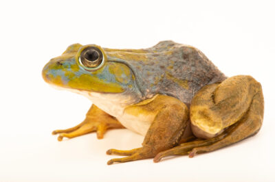 Photo: An American bullfrog (Lithobates catesbeianus) at the Schramm Education Center near Gretna, NE. This specimen is axanthic, meaning it lacks yellow pigment.