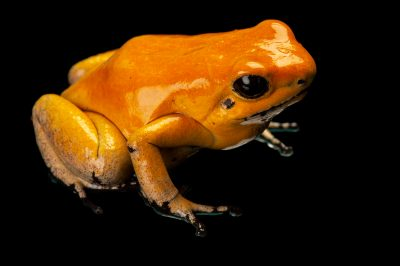 Photo: An endangered golden poison frog (Phyllobates terribilis), orange morph, from a private collection.