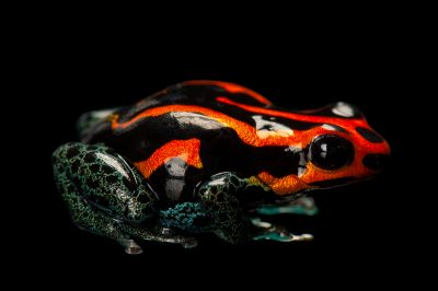 Photo: A red Amazonicus poison frog (Dendrobates amazonicus) from a private collection.