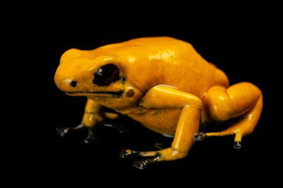 Photo: A splash-backed poison frog (Dendrobates galactonotus), orange morph, from a private collection.
