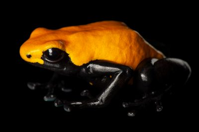 Photo: A splash-backed poison frog (Dendrobates galactonotus), 75% yellow morph, from a private collection.