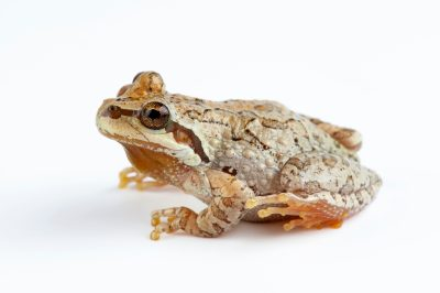 Photo: A Pacific treefrog (Pseudacris regilla) from San Francisco State University.