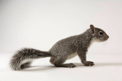 A young western gray squirrel (Sciurus griseus) at Wildlife Images, an animal rehabilitation center near Merlin, Oregon.