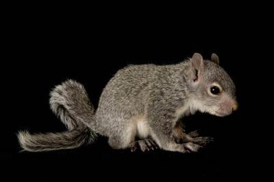 A young western gray squirrel (Sciurus griseus) at Wildlife Images, an animal rehabilitation center near Merlin, Oregon.