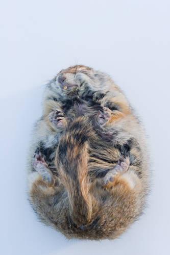 Photo: Portrait of a hibernating Arctic ground squirrel (Spermopilus parryii) at the University of Alaska at Fairbanks.