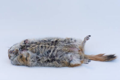 Photo: Portrait of a hibernating Arctic ground squirrel (Spermopilus parryii) at the University of Alaska at Fairbanks.