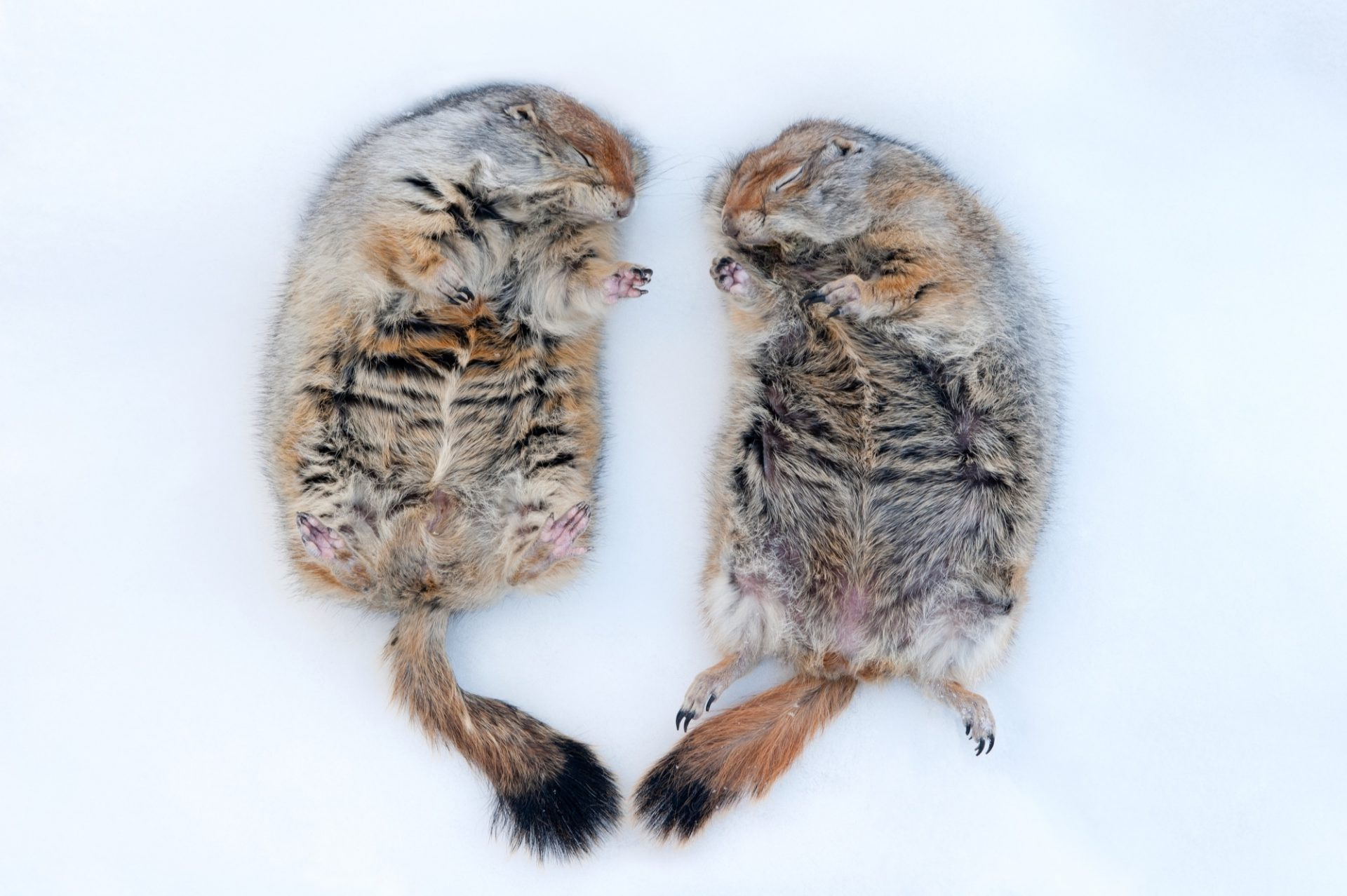 Photo: Hibernating Arctic ground squirrels (Spermopilus parryii) at the University of Alaska at Fairbanks.