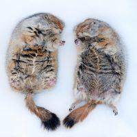 Photo: Hibernating Arctic ground squirrels (Spermopilus parryii) at the University of Alaska at Fairbanks.
