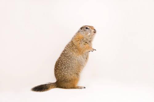 Arctic ground squirrel (Spermophilus parryii) at the University of Alaska at Fairbanks.