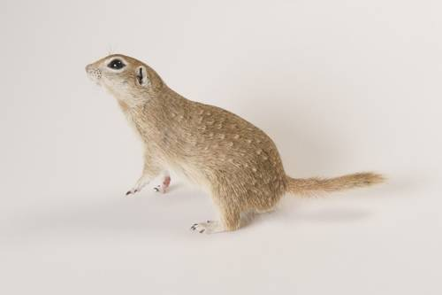 Spotted ground squirrel (Spermophilus spilosoma) at The Wildlife Center in Espanola, New Mexico.