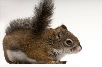 An endangered (IUCN) and federally endangered Mount Graham red squirrel, Tamiasciurus hudsonicus grahamensis. This animal, named Lizzie, is one of only two captive animals of this species. She was brought in to the museum as an orphan along with a male squirrel, by USFWS, in 2004. There are now fewer than 100 MGRS living in the wild, making this one of the rarest mammals in North America.