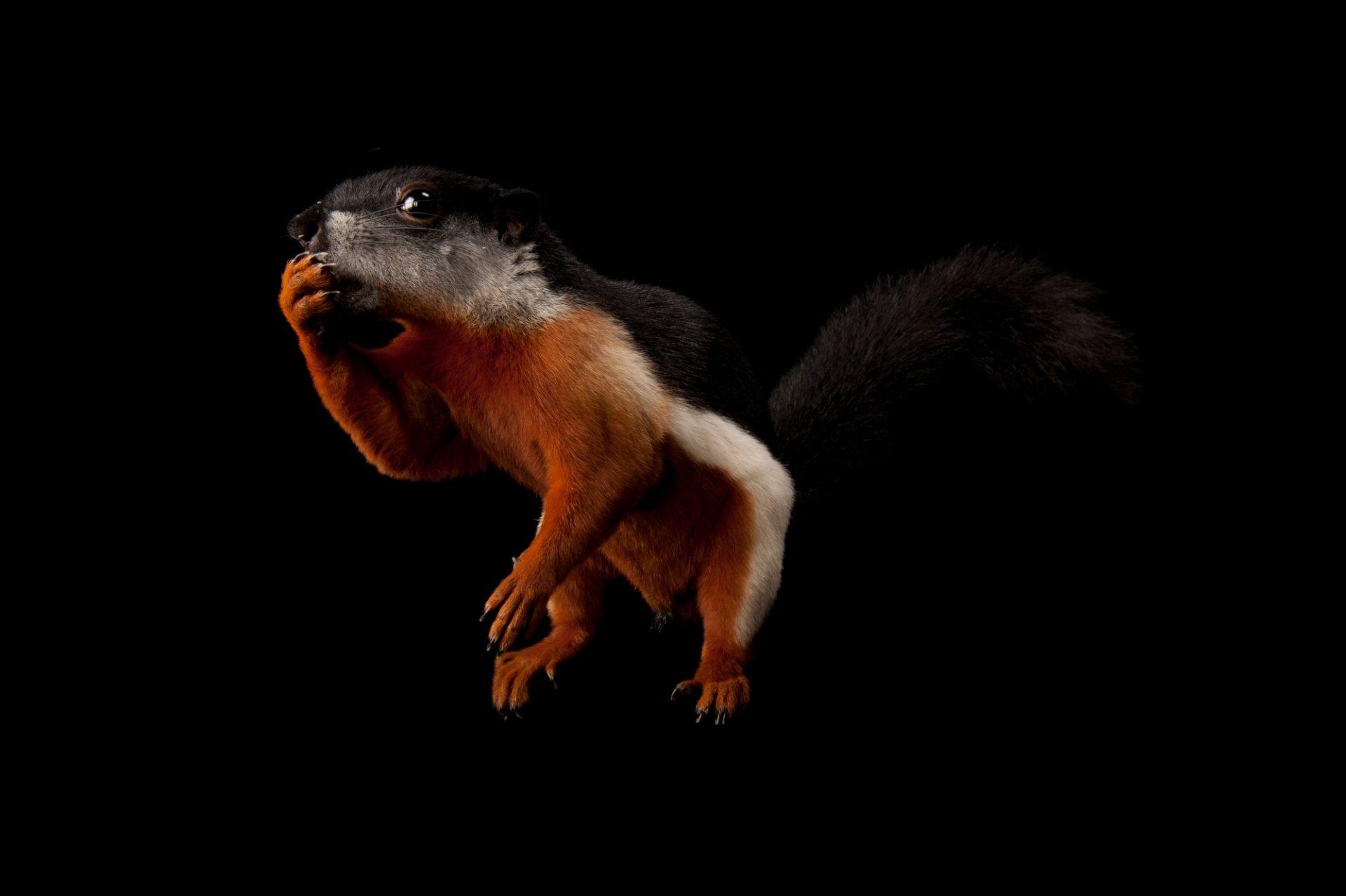 A Prevost's squirrel (Callosciurus prevostii prevostii) named 'Walnut' at the Houston Zoo.