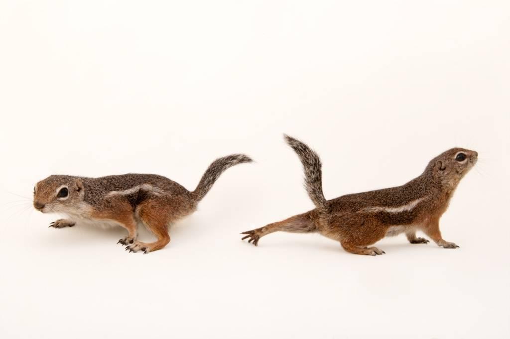 Harrison's antelope ground squirrel (Ammospermophilus harrisii).