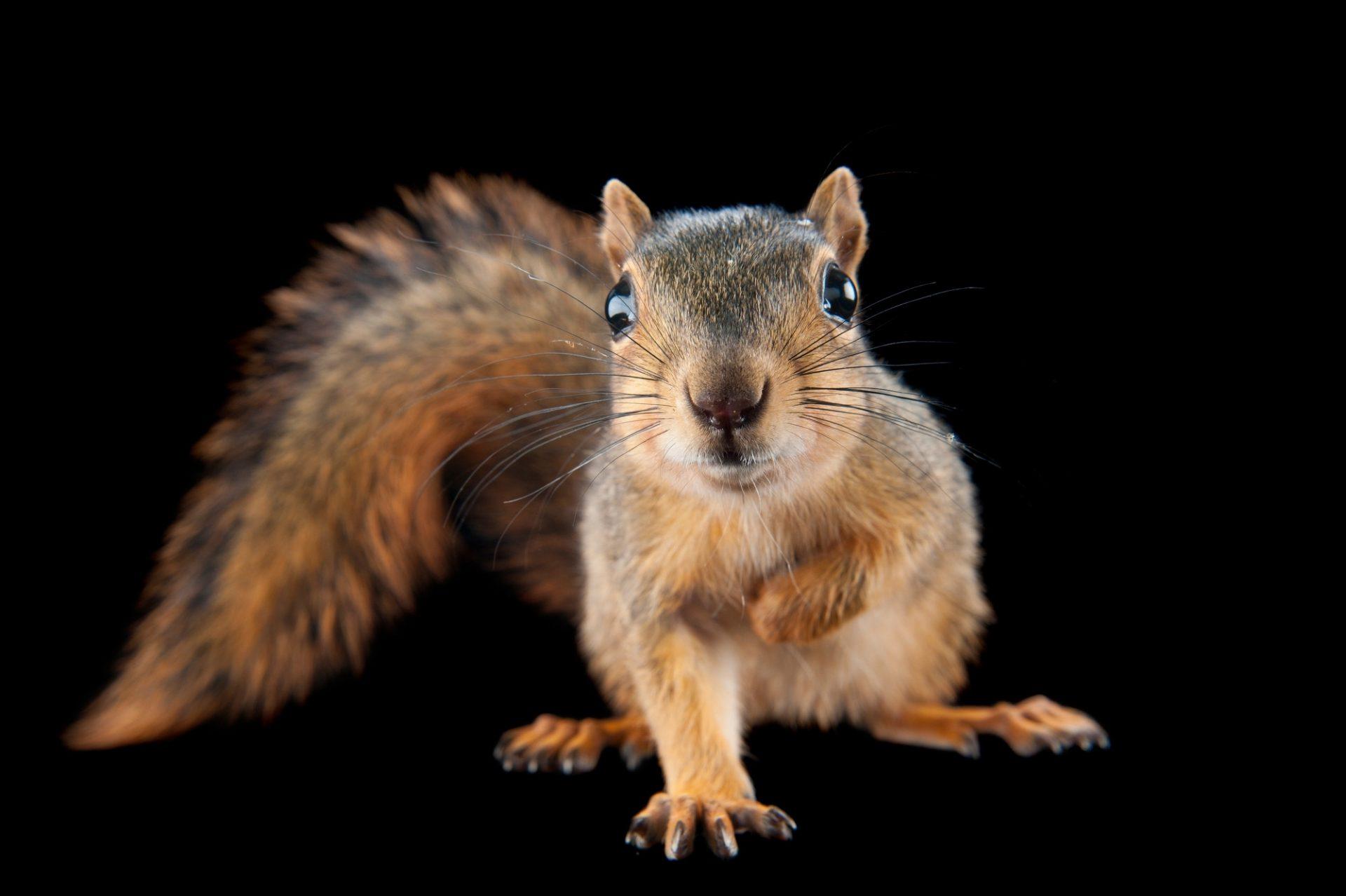 Photo: A fox squirrel, Sciurus niger.