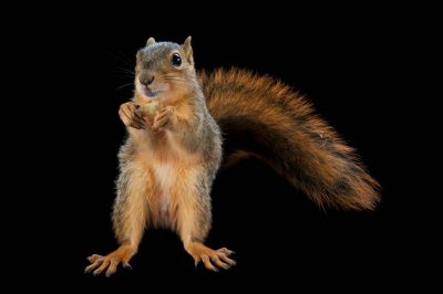 Photo: A fox squirrel, Sciurus niger.