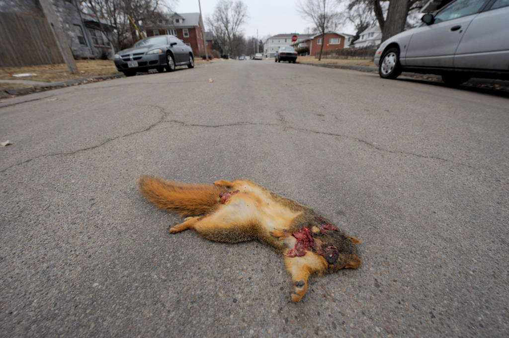 Photo: A dead squirrel in the middle of the road.