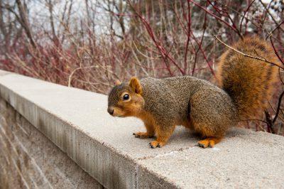 Photo: A fox squirrel (Sciurus niger) in Lincoln, Nebraska.