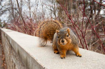 Photo: A red fox squirrel in Lincoln, Nebraska.