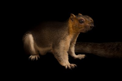 Picture of a pale giant squirrel (Ratufa affinis) at the Omaha Zoo.