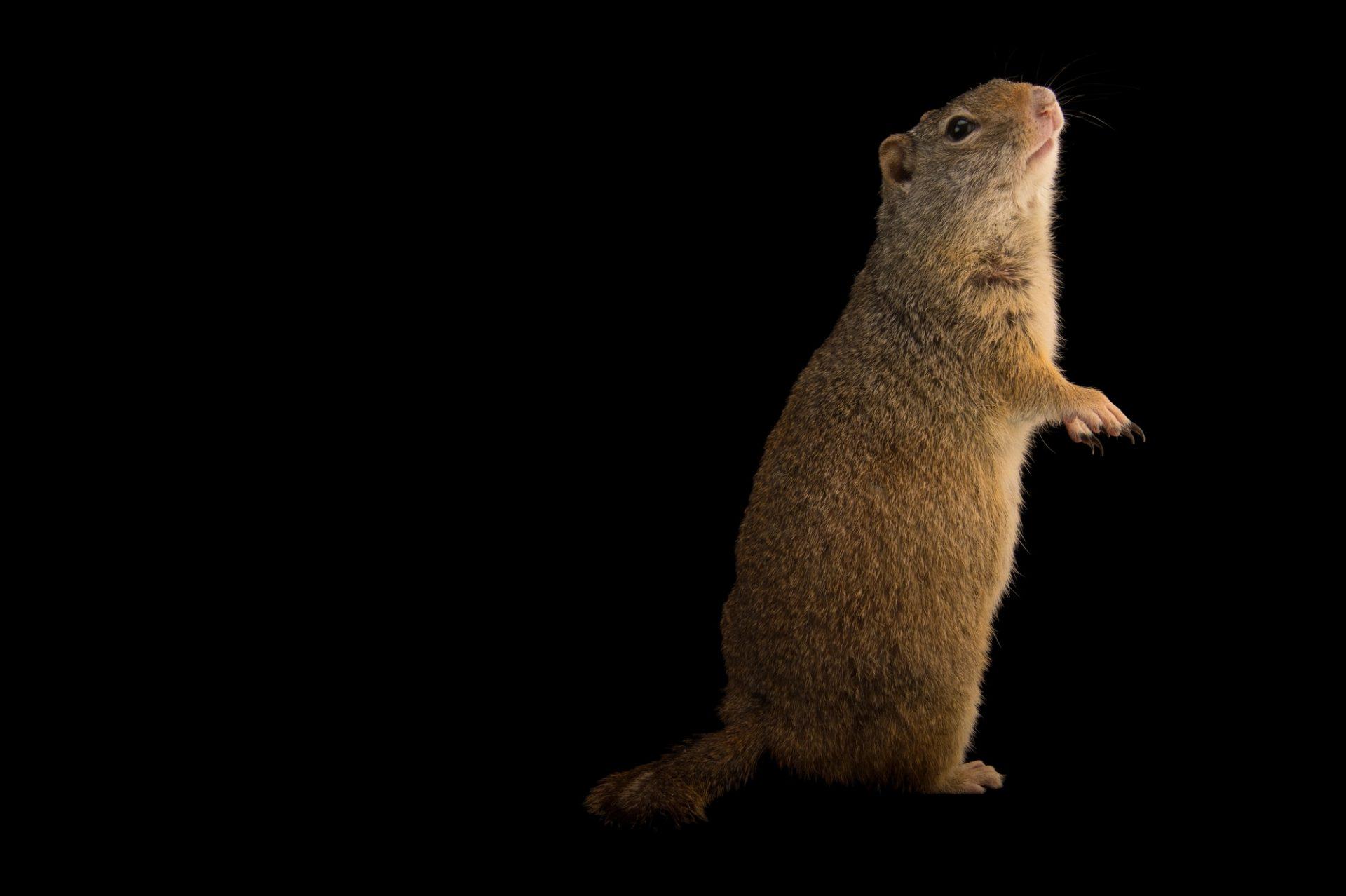 Picture of a Uinta ground squirrel (Urocitellus armatus) at the Wildlife Rehabilitation Center of Northern Utah.