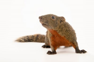 Photo: A Pallas's squirrel (Callosciurus erythraeus) at the Plzen Zoo in the Czech Republic.