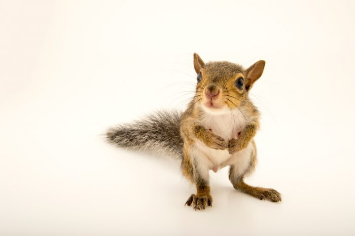Picture of a young eastern grey squirrel (Sciurus carolinensis carolinensis) at St. Francis Wildlife, a rehab center in Quincy, FL.