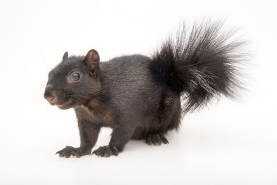 A Western fox squirrel with melanistic coloring (Sciurus niger rufiventer) at Nebraska Wildlife Rehab, Inc.