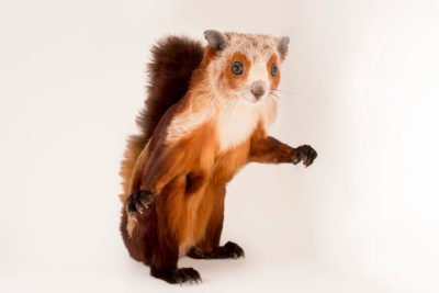 Photo: A red and white giant flying squirrel (Petaurista alborufus) at Night Safari, part of Wildlife Reserves Singapore.