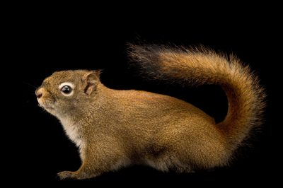 Photo: North American Red squirrel (Tamiasciurus hudsonicus) at the Alaska Zoo.