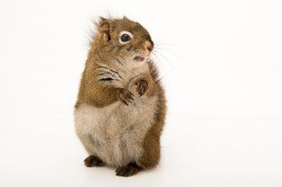 Photo: Red squirrel (Tamiasciurus hudsonicus) at the Alaska Zoo.