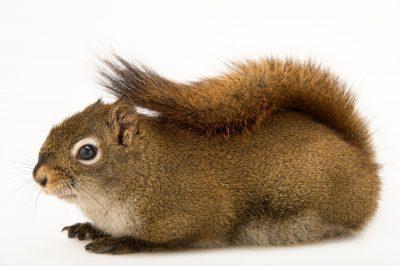 Photo: North American Red squirrel (Tamiasciurus hudsonicus) at the Alaska Zoo.