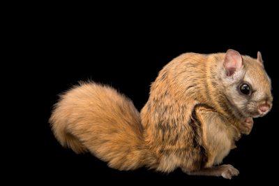 Northern flying squirrel (Glaucomys sabrinus zaphaeus) at the Alaska Zoo.