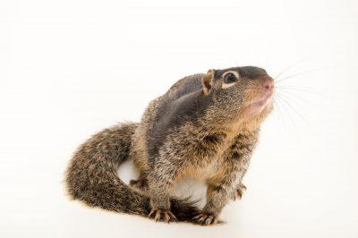 Photo: A rock squirrel (Otospermophilus variegatus) at the Austin Wildlife Rescue.