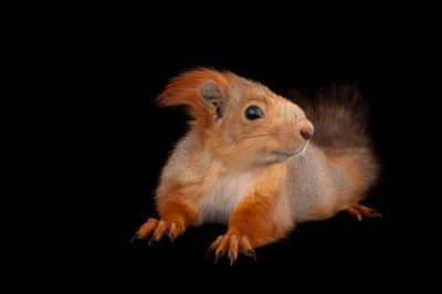 Photo: A Eurasian red squirrel (Sciurus vulgaris exalbidus) at the Miller Park Zoo.
