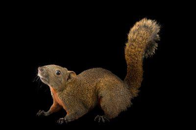 Photo: Pallas's squirrel (Callosciurus erythraeus) at the Plzen Zoo in the Czech Republic.